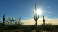 Large prickly cactuses in vast rocky desert in sunny summer video