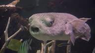 Large Puffer fish (HD) video