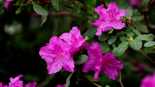 Large Purple Azalea Flowers With Water Drops on Them video