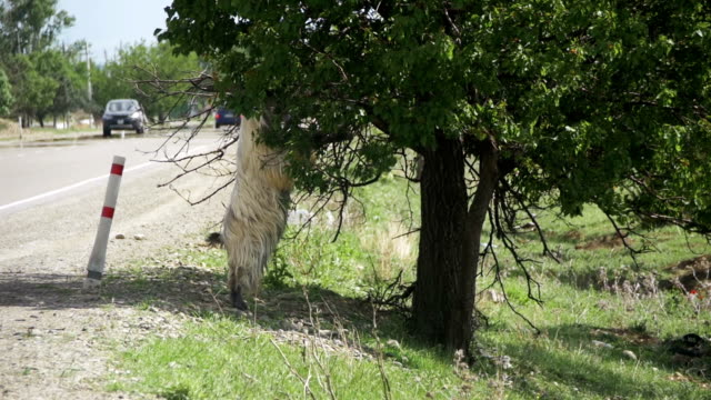 Large Ram Stands on its Hind Hooves and Eat the Leaves of a Tree near the Highway. Slow Motion video