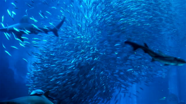 Large school of Bigeye sardine with Diver (With Sharks and Manta Ray) video