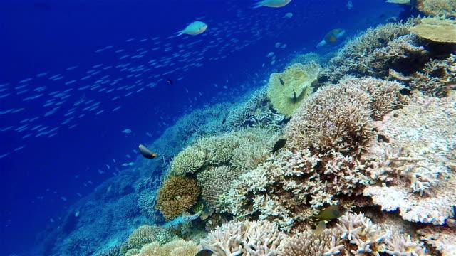 Large school of Damselfish on coral reef / Maldives video