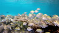Large School of Manini (Convict) Surgeonfish on coral reef video