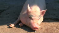 large single pig farm video