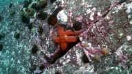 Large starfish on sea bottom in search of food. video