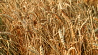 Large wheat field before harvest video