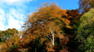 Large Woodland Trees In Fall Colors video
