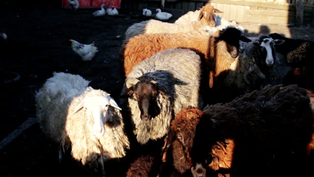 Large woolen sheep in paddock shot through a grid of fence video