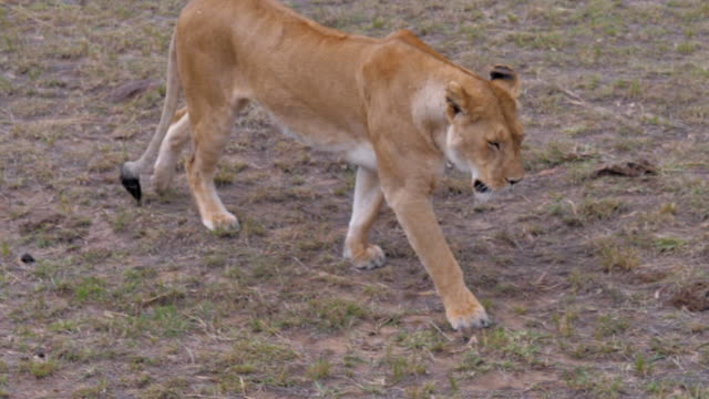 Larger Plan Tired Lioness Goes, Slow Motion. video