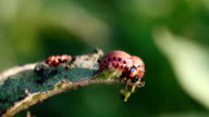 Larva Colorado potato beetle (Leptinotarsa decemlineata) video