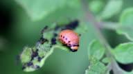 Larva Colorado potato beetle video