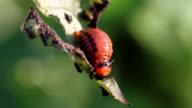 Larva Leptinotarsa decemlineata video