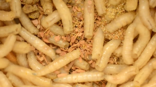 Larva of a meat fly in sawdust, close-up video
