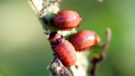 Larva potato beetle video