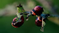 Larvas potato beetle video