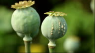 Latex drops on the colorful poppy seed pod video
