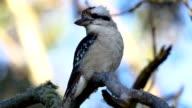 Laughing kookaburra video