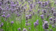 Lavender Bush in Summer with bees video