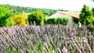 Lavender cultivated field in Provence video