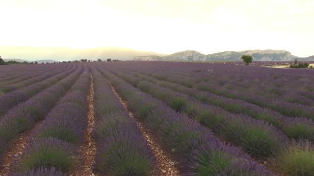 AERIAL Lavender field at dawn video