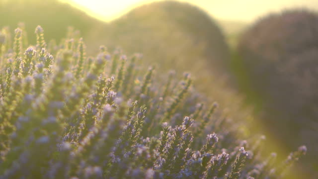 Lavender field in France at sunset video
