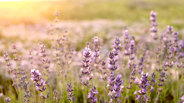 Lavender Field in the summer. video