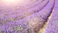 lavender field (dolly shot) video