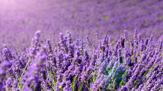lavender field (dolly shot) video