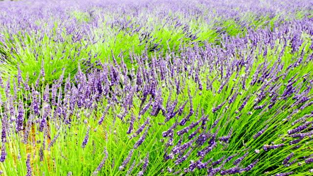 Lavender Field video