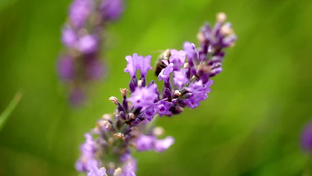 Lavender Field with Honeybees - Close up video
