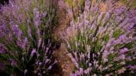 lavender flowers close-up video