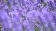 lavender flowers in a meadow in wind video