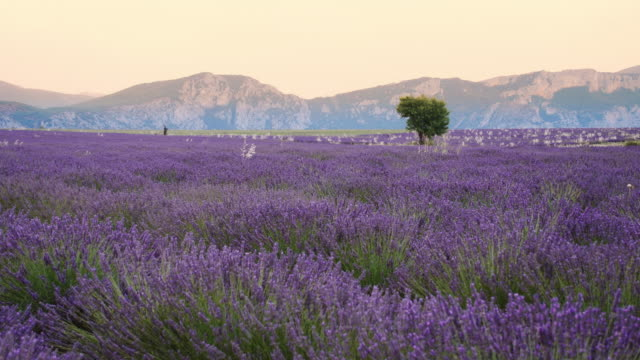 DS Lavender in Provence video