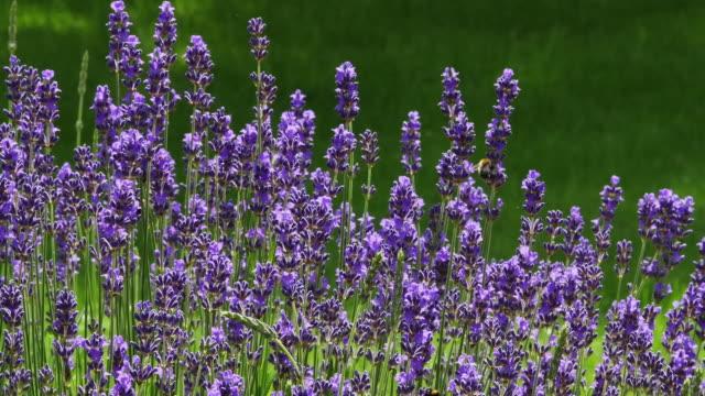 Lavender, lavandula sp., Normandy, Real Time 4K video