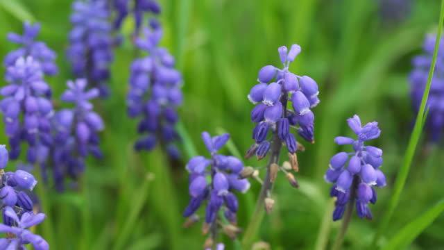 Lavender video