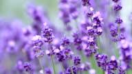 Lavenders flowers. video