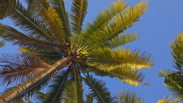 Laying on a beach, looking up at coconut palm trees video