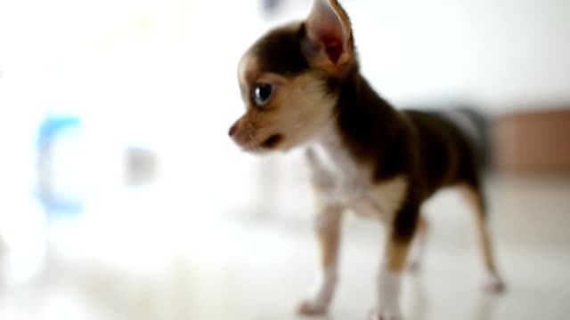 Lazy chihuahua dog relaxing video