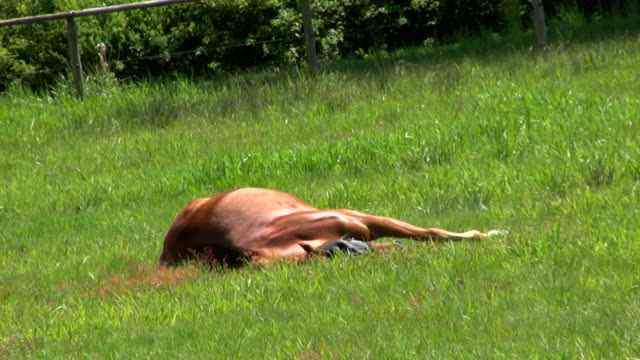 Lazy Horse Taking A Nap (HD 1080p30) video