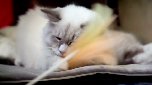 Lazy White Cat Don't Want To Play video