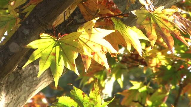 HD, NTSC: Leaf aflutter in the wind (video) video