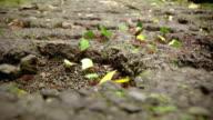 Leaf cutter ants video