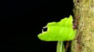 Leaf Cutter Ants (Atta sp.) video