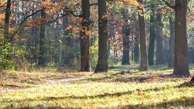 Leaf fall in the oak grove. video