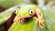 Leaf Frog (Agalychnis hulli) video