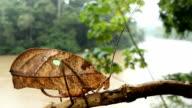 Leaf mimic katydid video