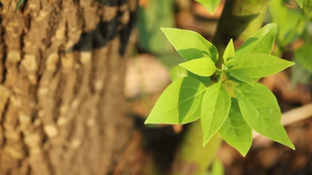 Leaf of Cinnamomum camphora tree video