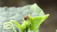Leaf-feeding ladybird beetle video