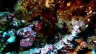 Leaffish lay on sand video