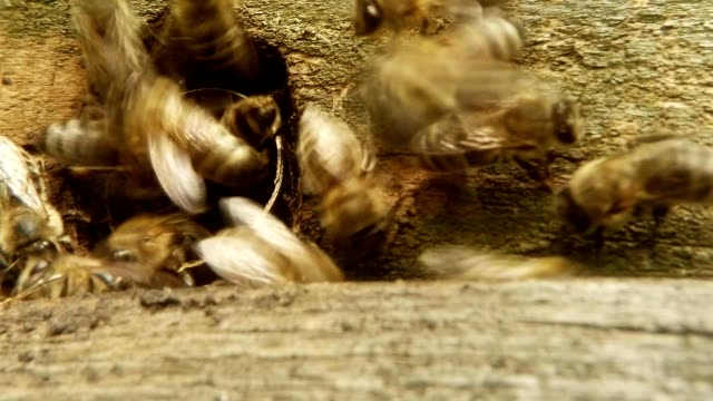 Leaflet of Beehive Bees Enter and Exit Super Close Up video